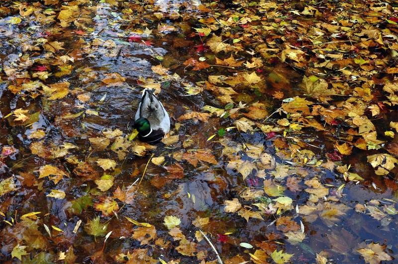 YPH-2015-11-17-canard